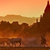 Fiery Farewell to Bagan - One of my favorite images, this was one of the last pictures I made in Bagan. I brought my frame much closer to the setting sun than in the previous picture, and zoomed in more on the cattle and the people driving them. The effect of sunset and dust makes the cattle almost seem to be walking home through a field of fire.