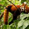 Red Panda resting outside Chengdu - Chengdu's most famous attraction is its Panda Breeding Research Facility, located four miles outside the city. Here a rare Red Panda enjoys the view from a tree.