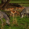 Grazing Zebras - Zebras are part of Luangwa's food chain -- they make a meal for the lion, while they, in turn, graze on the park's abundant fields of grass. The Impala in the background are also food for Luangwa's predators. Life here is focused on survival itself.
